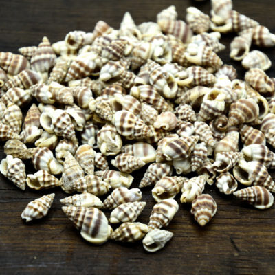 Craft Shells, 1/2 Pound, 15mm,   Reeveanus  Shells, No Hole -B812