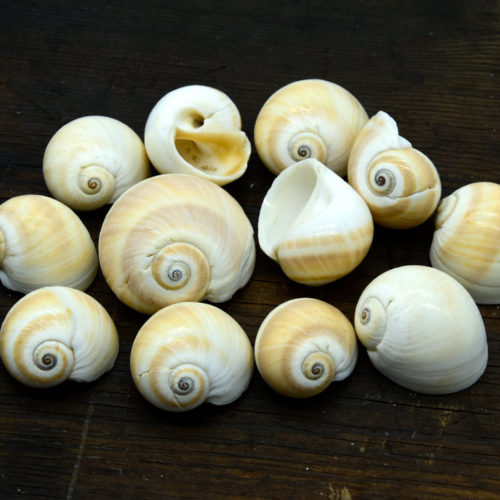 Sea Shells, 1/2 Pound, Mixed Size, Full  Craft Shell, No Hole -B814